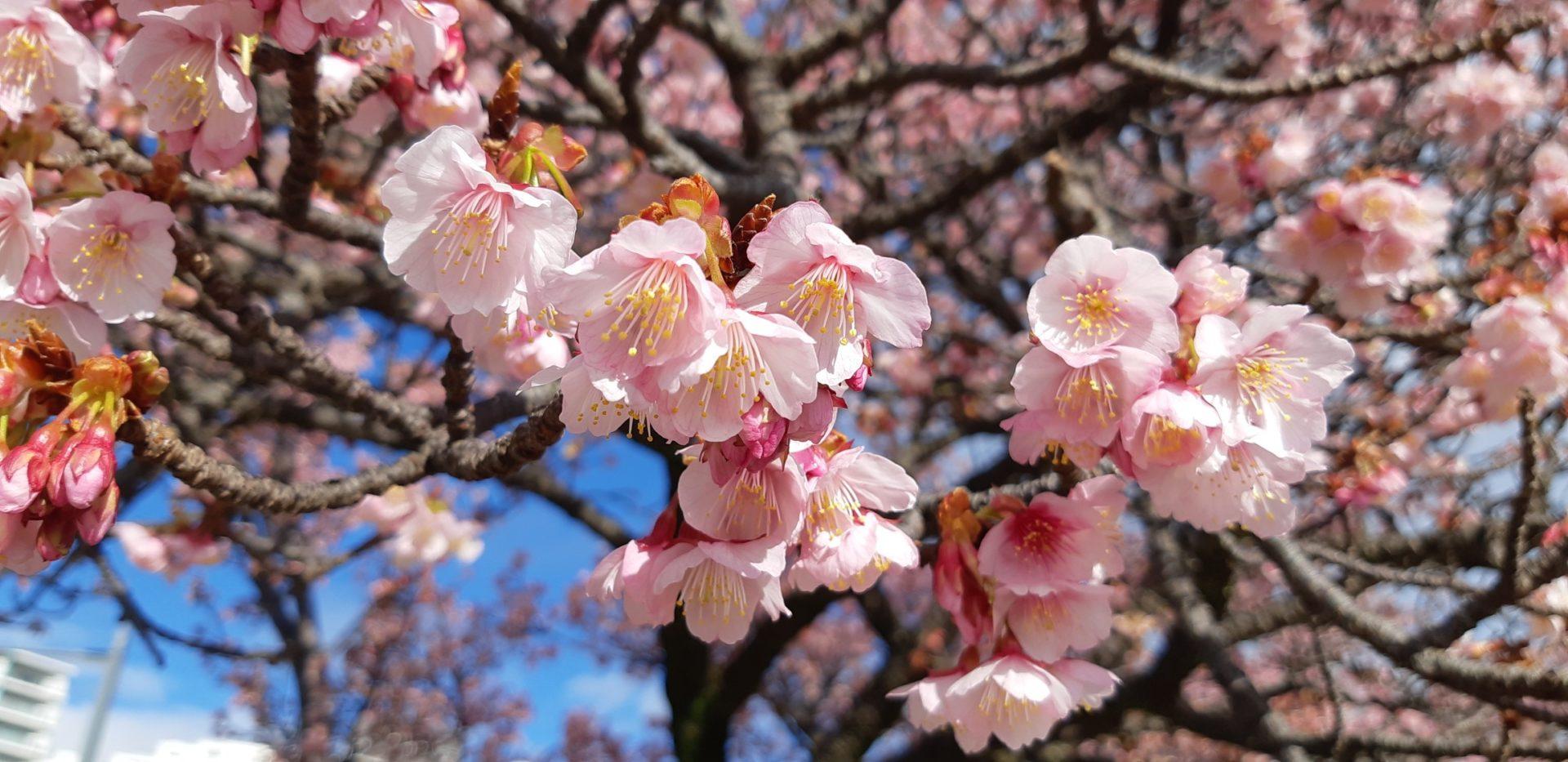海と桜が同時に見れる『釜鳴屋平七像』両脇の『あたみ桜』