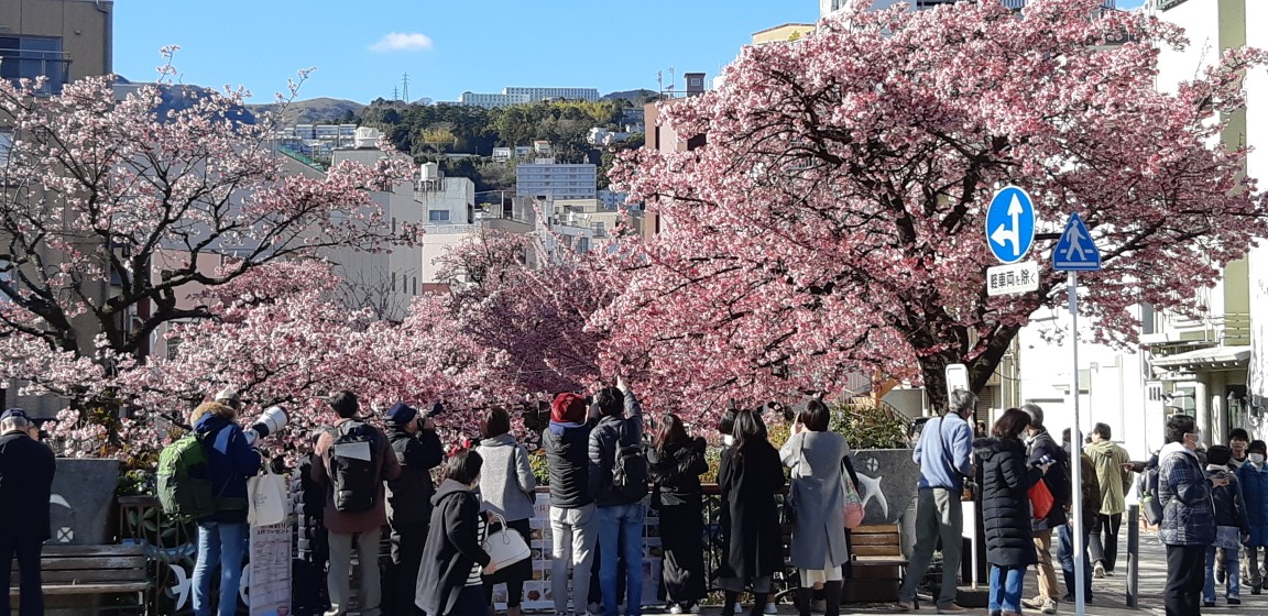 満開の『あたみ桜』~糸川遊歩道~2月1日(PM14:00)