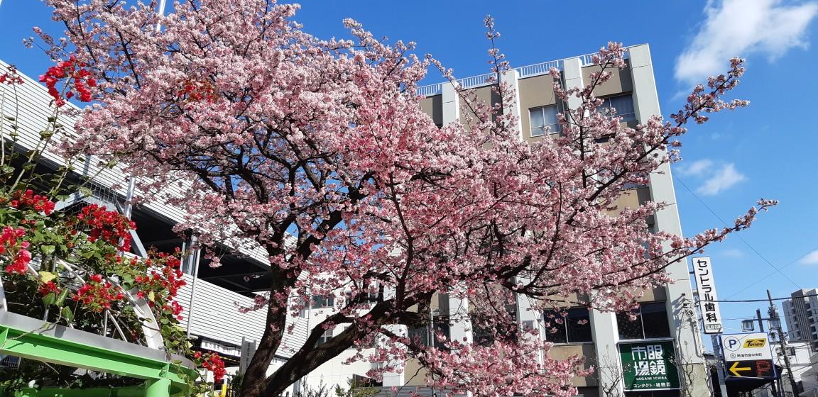 熱海御用邸跡地に咲く、巨木の『あたみ桜』2月4日撮影