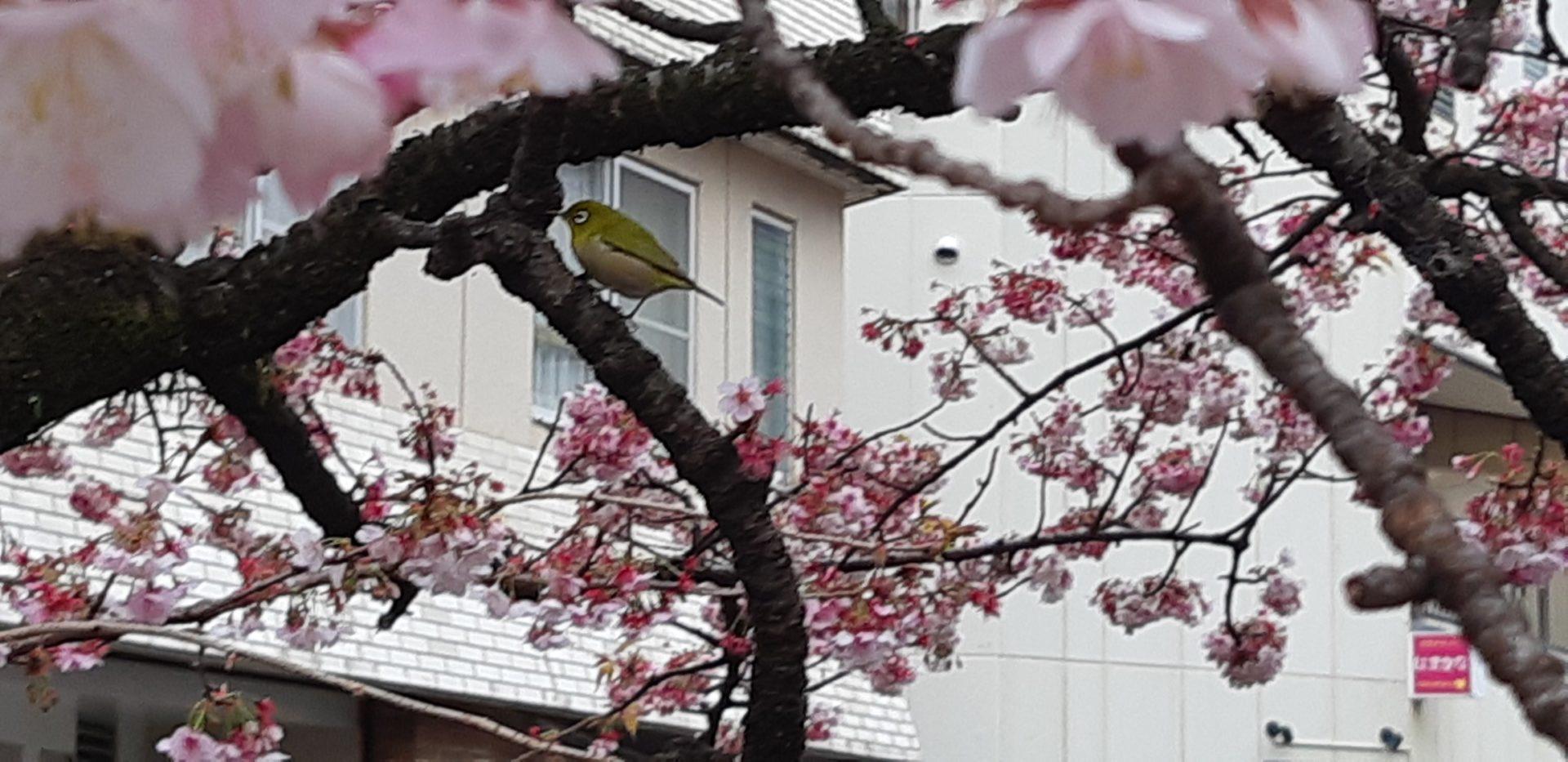 いよいよ明日(2月9日)まで『第10回あたみ桜 糸川桜まつり』