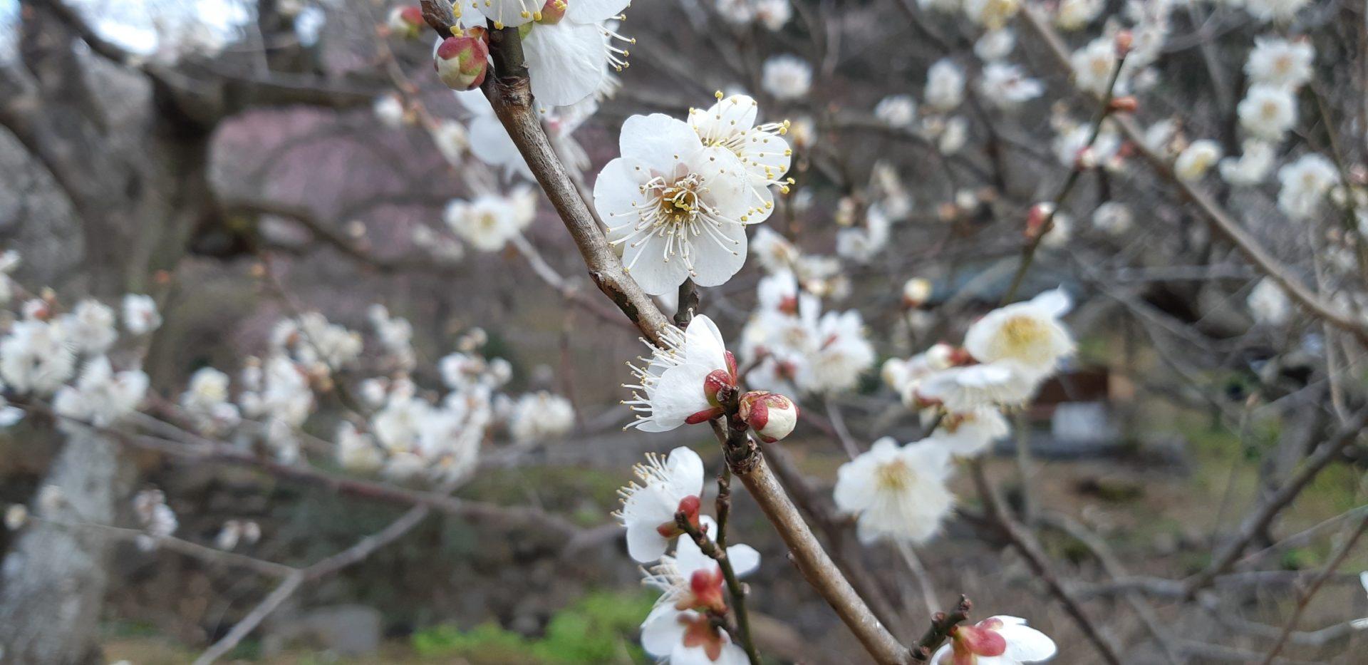 熱海梅園の梅が、満開です。 2月12日の画像です。