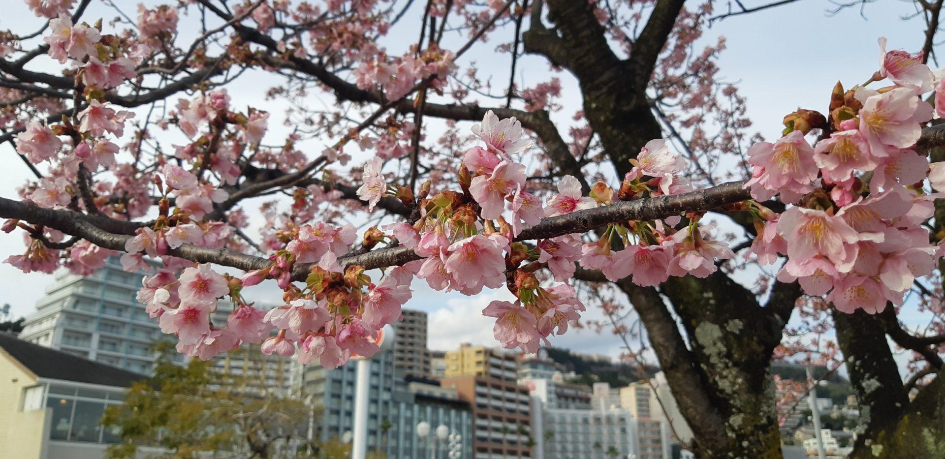 熱海の『大寒桜』がそろそろ見ごろ迎えでいます。