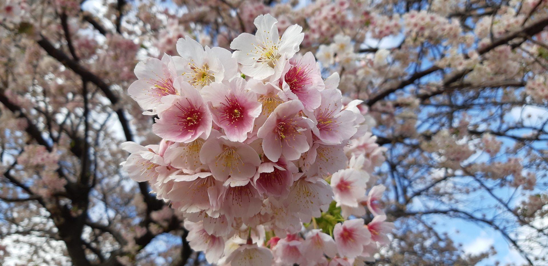 白いピンクの花『大島桜』が満開です。