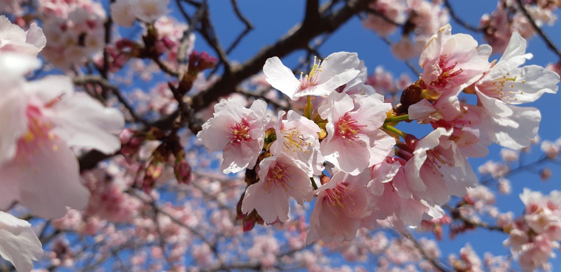 『大寒桜』が満開です。~2月25日(火)~