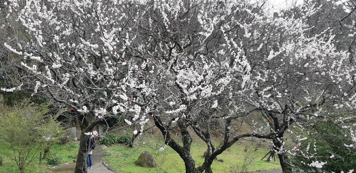 『熱海梅園梅まつり』は、終了しました。最終日の様子(3月1日)