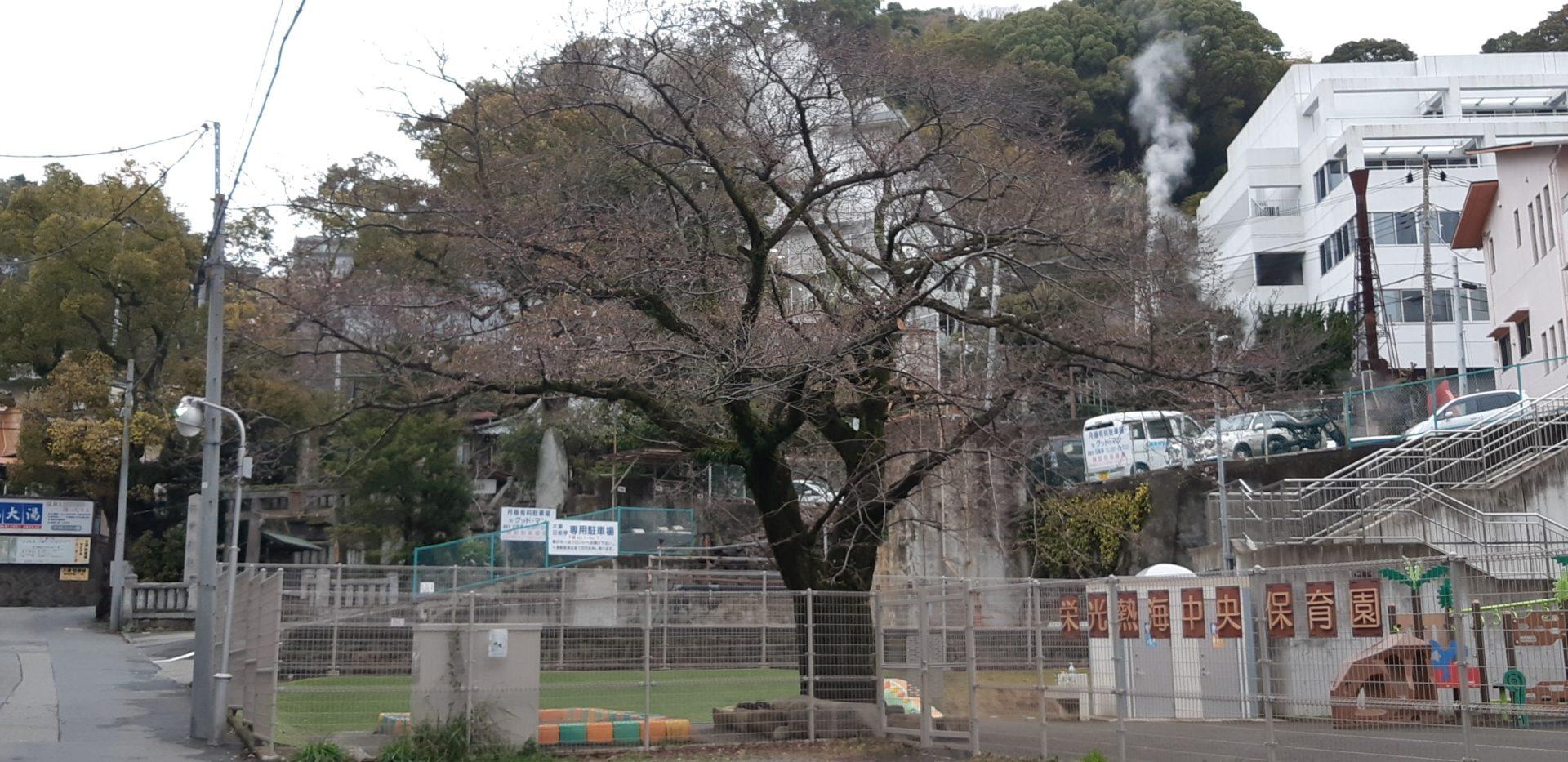 『染井吉野』が咲き始めています。3月15日(日)湯前神社前