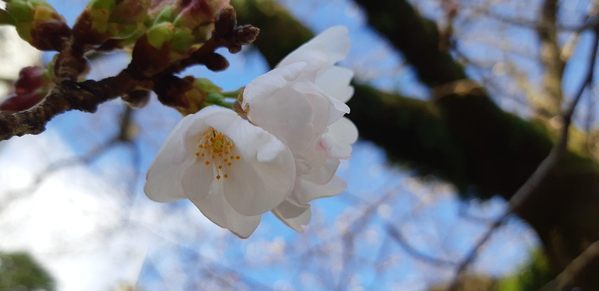 染井吉野が3~4分咲きです。~3月18日(水)『大湯間欠泉前』