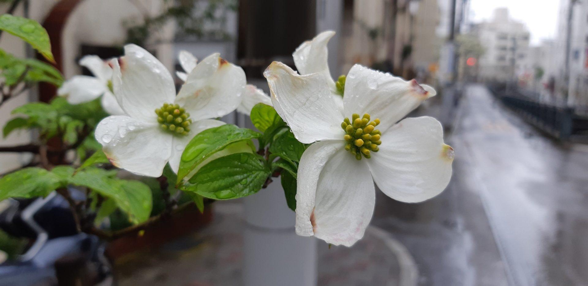 『ハナミズキ』(花水木)が可憐に咲いています。~初川沿い~