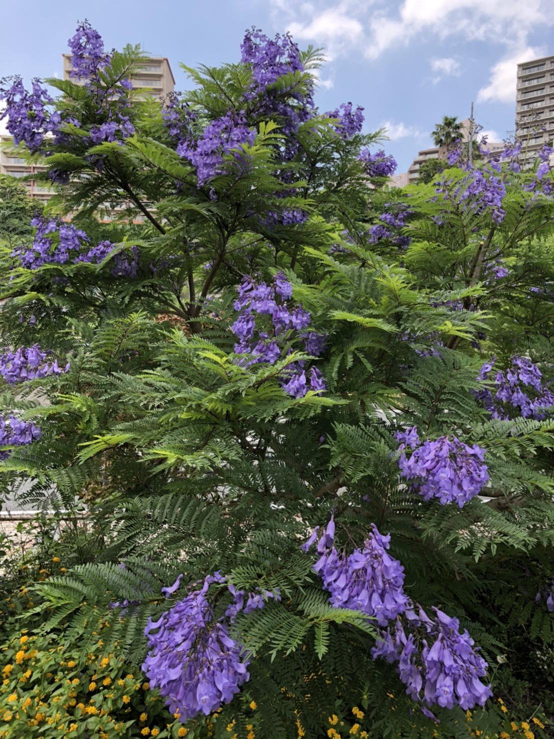 満開のジャカランダ~青紫に染まる~
