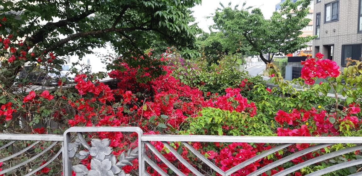 ブーゲンビリアの花(苞)が見頃を迎えています。6月4日