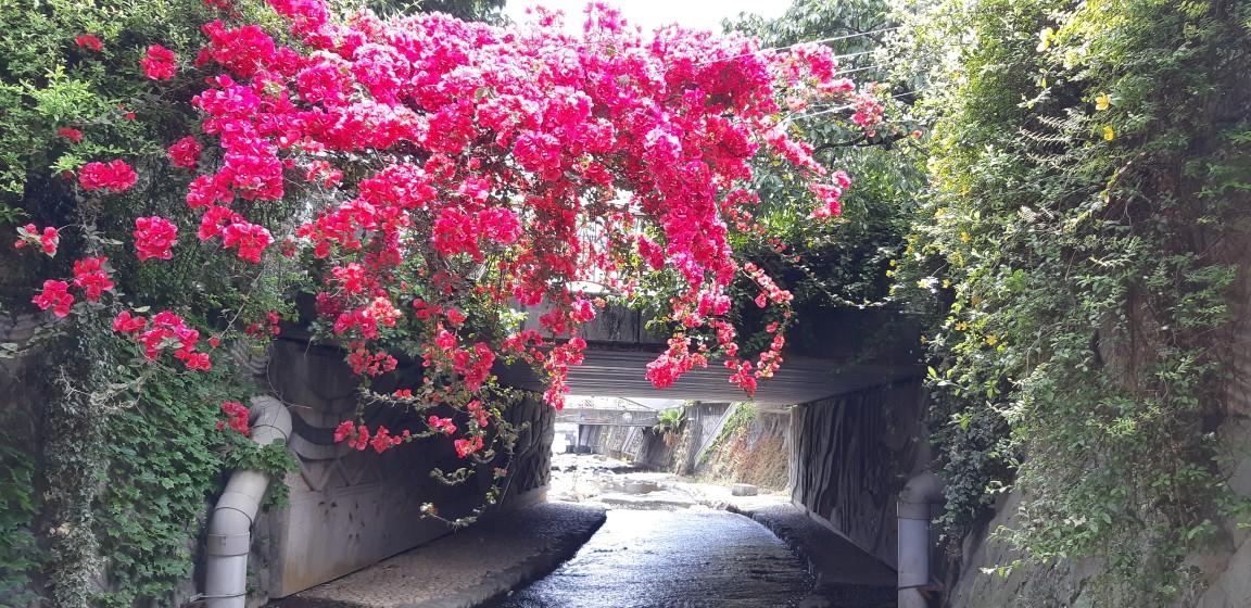 色鮮やかなブーゲンビリア~糸川を覆う~6月8日
